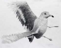 """Startled Gull"", 2011, Graphite on Paper, 23 x 29 in., by David Jay Spyker"
